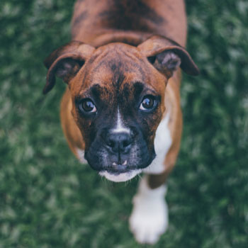 bets dogs boxer