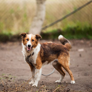 best dogs collie
